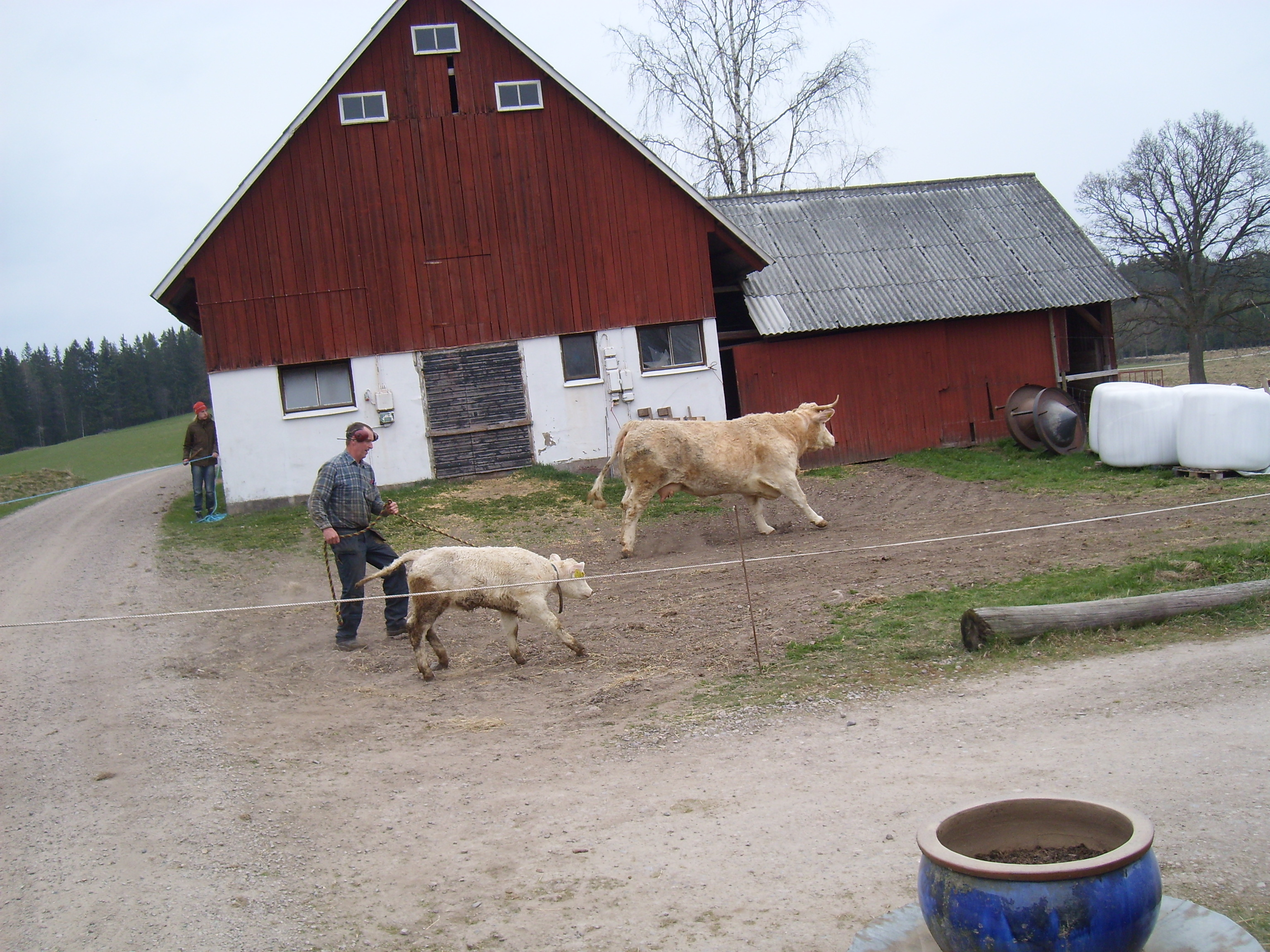 Ko och kalv