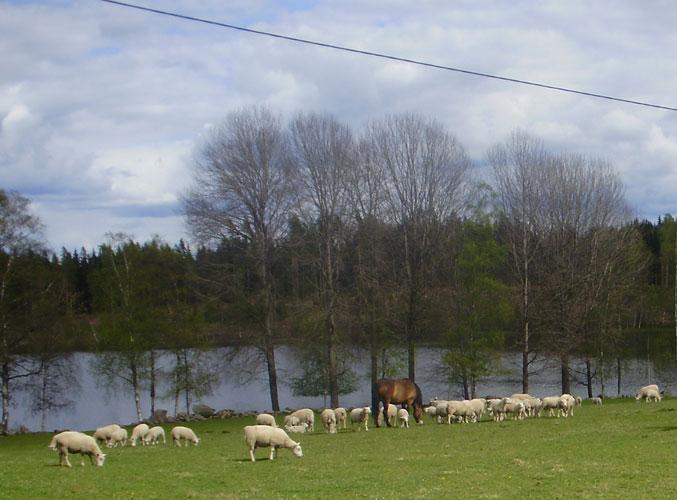 Matilda och fåren